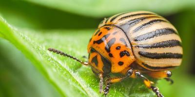 Повадки колорадского жука: как прогнать паршивца с картошки