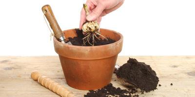 Лилии: выбираем сорта и готовимся к посадке