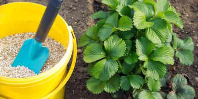 5 подкормок для земляники садовой - и урожай вам гарантирован
