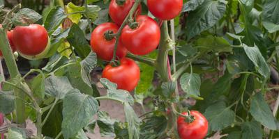 Как использовать ботву томатов: 5 способов на все случаи жизни