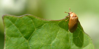 Малинный жук. Миссия: распознать и уничтожить