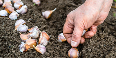 Как получить отличный урожай крупного чеснока: мои наработки по выращиванию