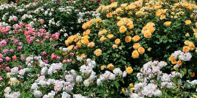 За что розы скажут вам спасибо: мой альтернативный подход к уходу за розарием