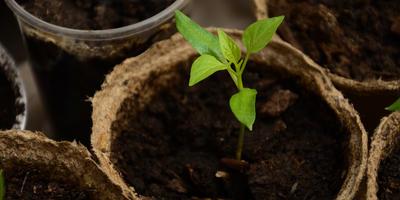 В какую емкость посеять перец на рассаду и почему нельзя использовать торфяные горшочки