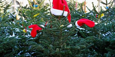 Главный вопрос декабря: какую ёлку купить? Обзор цен на новогодние деревья