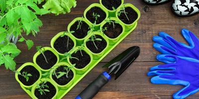 Когда и как посеять ранние томаты: делимся своими секретами