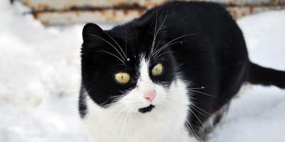 Чернобелая и дом, или Кошачья зимняя эпопея