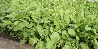 Усы и рожки - способы размножения садовой земляники