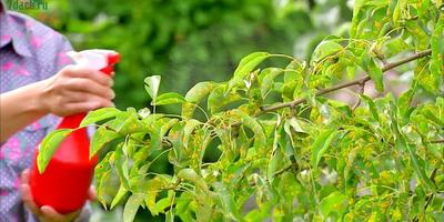 Ржавчина груши: видео о лечении и профилактике