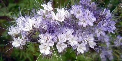 Сидераты: видео о некоторых видах и их назначении