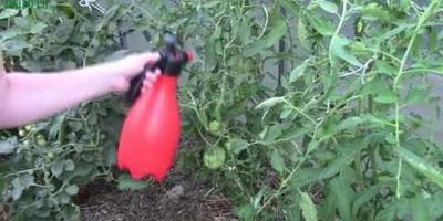 Фитофтора: видео-рецепт приготовления и применения средства от напасти