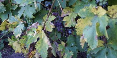 Желтеют листья винограда, но только на одном из сортов. Почему такое может быть?