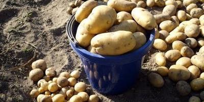 Картофель: видео о том, как правильно убрать и сохранить урожай