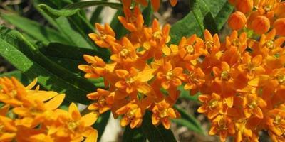 Как посадить очаровательный ваточник (видео)