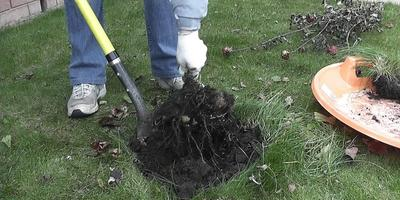 Как выкопать клубни георгинов и подготовить их к хранению