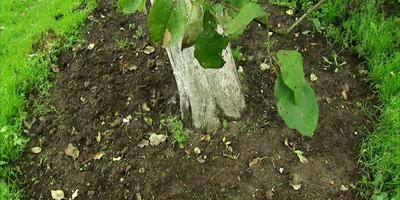 Подготовка плодовых деревьев к холодам: как повысить зимостойкость (видео)