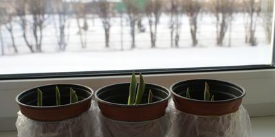 Выгонка тюльпанов зимой