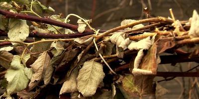 Подготовка малины к зиме (видео)