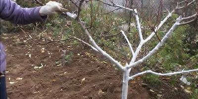 Осенняя побелка садовых деревьев (видео)