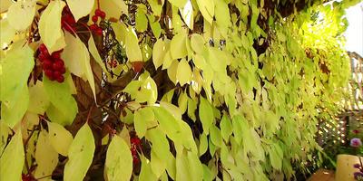 Гости из тайги: лимонник китайский и барбарис амурский (видео)