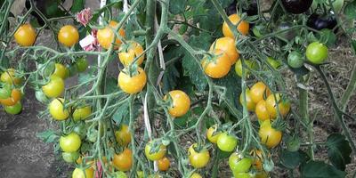 Мелкоплодные томаты: проверенные сорта
