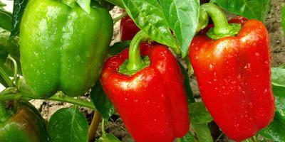 Перец: особенности ухода, посадки и выращивания