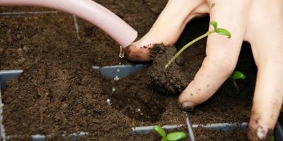Выращивание рассады томатов: с чего начать?