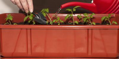Чем поливать рассаду?