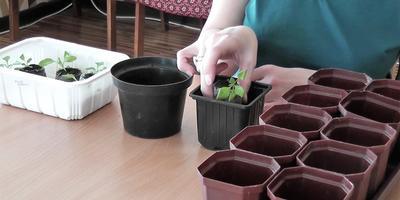Выращивание рассады петунии: пикировка, прищипывание, удобрение