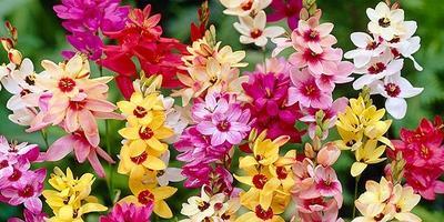 Иксия - звёздные цветы в саду