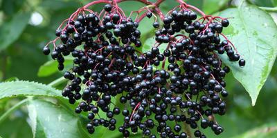 Размножение бузины черенкованием