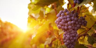 Виноград - ягода жизни