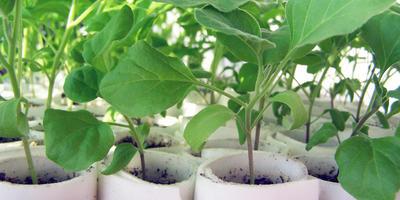 Как правильно высадить рассаду баклажанов
