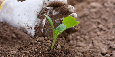 Патиссон: посадка, выращивание, уход