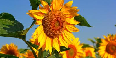 Подсолнух - цветок, следящий за солнцем. Посадка и уход