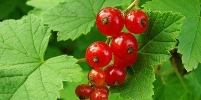 Как размножить красную смородину с помощью черенков