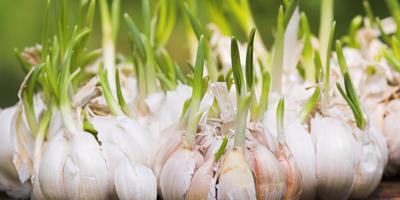 Народные методы борьбы с фитофторозом помидоров