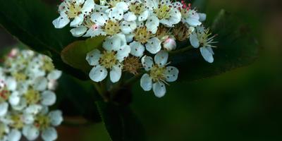 Черноплодная рябина - арония Мичурина