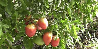 Как собрать и сохранить семена томатов