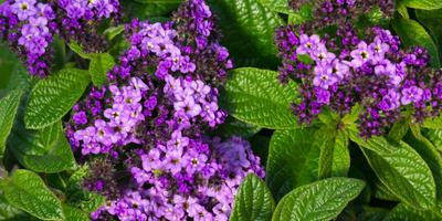 Выращиваем гелиотроп - цветок, который покорит вас своим ароматом