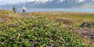 Береза карликовая: путешествие из тундры в сад
