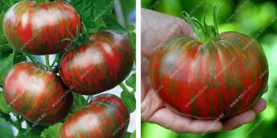 Лучшие сорта томатов по итогам непростого лета 2017 года