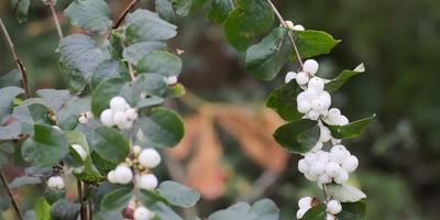 Снежноягодник – кустарник с покладистым характером