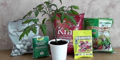 Как не перекормить рассаду томатов