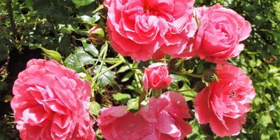 Почему не цветут розы: 7 возможных причин