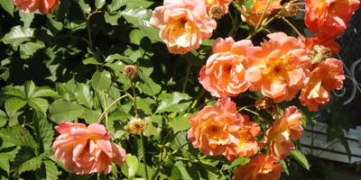Уход за розами в сентябре: начинаем подготовку к зиме