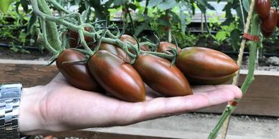 Как продлить жизнь томатов в сентябре-октябре