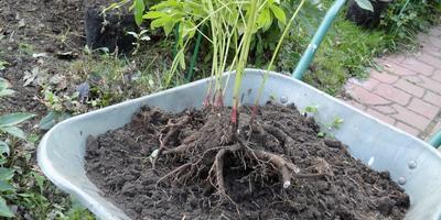 Как посадить пионы, чтобы потом не пожинать плоды своих ошибок