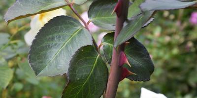 Три способа укрытия роз на зиму: честно о преимуществах и недостатках каждого