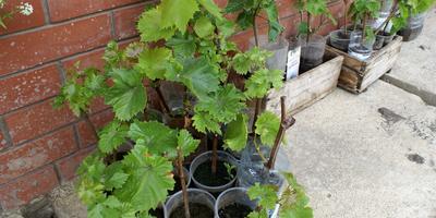 Уникальные способы посадки винограда: в яму с дренажом и в траншеи